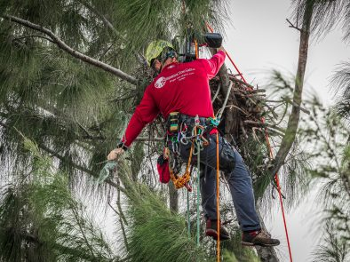 Ian Orlikoff of Signature Tree Care removes netting from eagle's nest on marco island september 2020