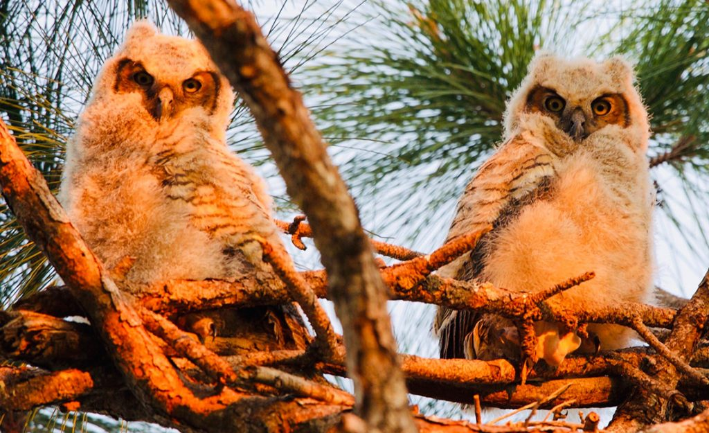Naples, FL Tree Service Re-nests Baby Great Horned Owl for Conservancy of Southwest Florida | Signature Tree Care