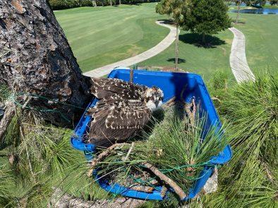 bears paw osprey 6 15 20 signature tree care