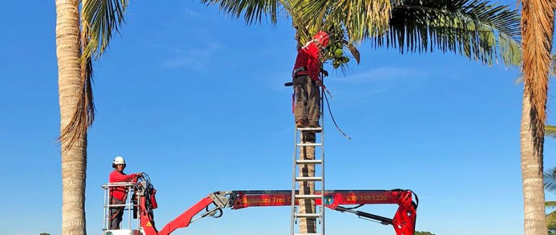Palm Trimming & Palm Health | Signature Tree Care in Naples and Ft. Myers, FL