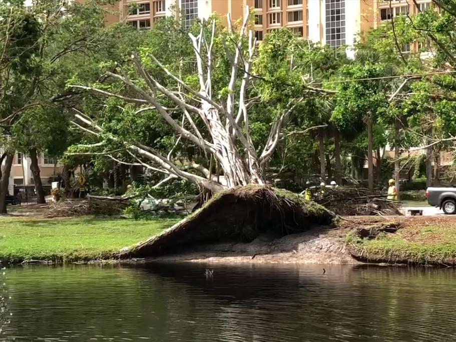 Post Hurricane Irma-fallen Tree Without Tree Trunk Brace | Signature Tree Care in Naples, FL