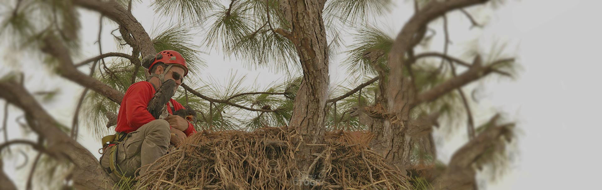 Eagle Re-Nesting by ISA Certified Arborist, Ian Orlikoff | Signature Tree Care in Naples, FL